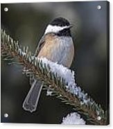 Chickadee On The Spruce Acrylic Print