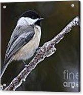 Chickadee Pictures 228 Acrylic Print