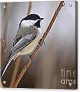 Chickadee Pictures 316 Acrylic Print