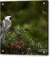 Chickadee Pictures 373 Acrylic Print