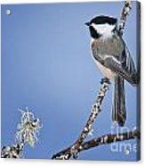 Chickadee Pictures 409 Acrylic Print