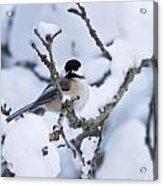 Chickadee Pictures 507 Acrylic Print