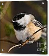 Chickadee Pictures 561 Acrylic Print
