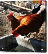 Chicken A La Carte Acrylic Print