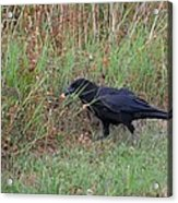 Chicken Eating Crow Acrylic Print