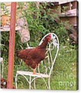 Chicken In The Chair Acrylic Print
