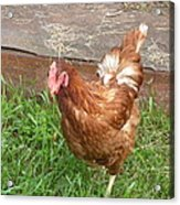 Chicken Portrait Acrylic Print