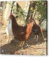 Chickens In The Pin Acrylic Print