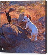 Chico And Paco The Mountain Dogs Acrylic Print