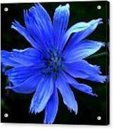Chicory 2 Acrylic Print by Mark Malitz