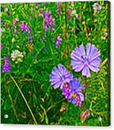 Chicory And Purple Vetch Along Rivier Du Nord Trail In Laurentians-quebec Acrylic Print