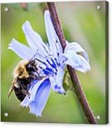 Chicory Bee Acrylic Print