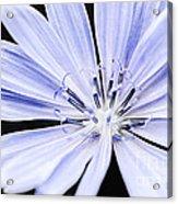 Chicory Flower Macro Acrylic Print