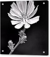 Chicory Wildflower Acrylic Print