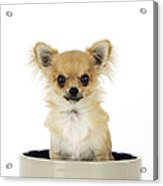 Chihuahua Dog In Bowl Acrylic Print