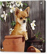 Chihuahua Dog In Flowerpot Acrylic Print
