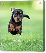 Chihuahua Dog Running Acrylic Print