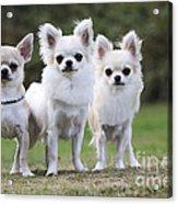 Chihuahua Dogs Acrylic Print