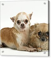 Chihuahua Puppy Dogs Acrylic Print