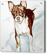 Chihuahua White Chocolate Color. Acrylic Print