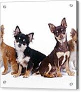 Chihuahuas Dogs Acrylic Print