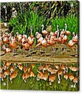 Chilean Flamingo Reflection In San Diego Zoo Safari Park In Escondido-california Acrylic Print