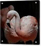Chilean Flamingos Acrylic Print