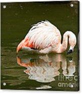 Chilean Flamingo Reflection Acrylic Print