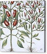 Chilli Pepper Plants Acrylic Print