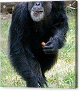 Chimpanzee-5 Acrylic Print