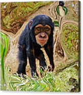 Chimpanzee Acrylic Print by Daniele Smith