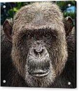 Chimpanzee Male Acrylic Print