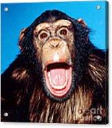 Chimpanzee Portrait Acrylic Print