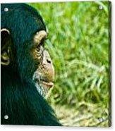 Chimpanzee Profile Acrylic Print