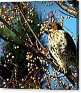 China Berry Hawk Acrylic Print