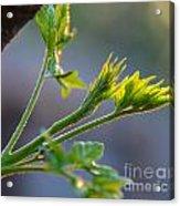 Chinaberry Sunset Bloom Acrylic Print