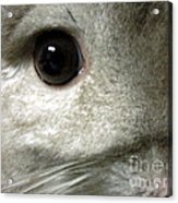 Chinchilla Face Acrylic Print