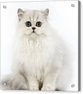 Chinchilla Persian Kitten Acrylic Print