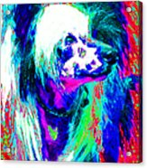 Chinese Crested Dog 20130125v3 Acrylic Print by Wingsdomain Art and Photography