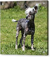 Chinese Crested Dog Acrylic Print