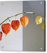 Chinese Lantern Stem Acrylic Print