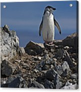 Chinstrap On The Look Out.. Acrylic Print