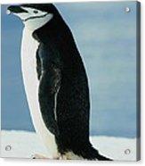 Chinstrap Penguin Acrylic Print