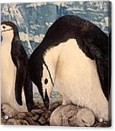 Chinstrap Penguin Acrylic Print