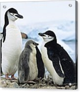 Chinstrap Penguins And Chicks Antarctica Acrylic Print