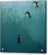 Chinstrap Penguins Leaping Acrylic Print