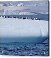 Chinstrap Penguins On Iceberg Acrylic Print