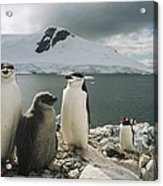 Chinstrap Penguins With Chick Paradise Acrylic Print