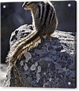 Chipmunk   #2152 Acrylic Print