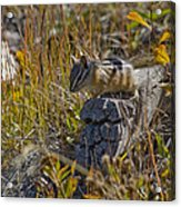 Chipmunk In Yellowstone Acrylic Print